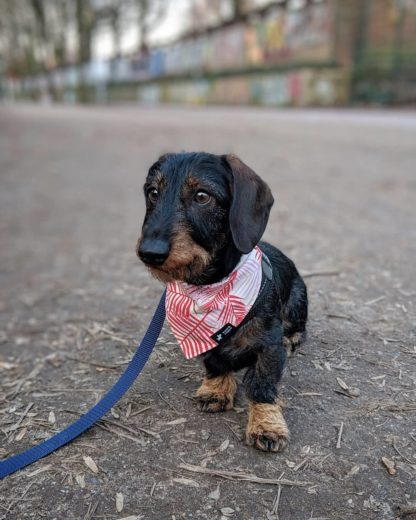 """Wirehaired Dachshund Mikkel with his bandana """"Panama"""" in the dog park"""