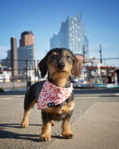 "Wirehaired dachshund Bruno with his bandana ""Barcelona"" in front of Hamburgs of the Elb Philharmonic Orchestra building"