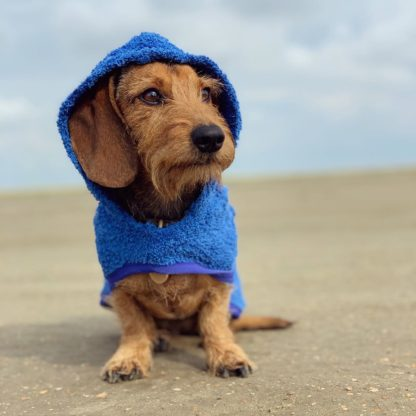 Wirehaired dachshund Ruby at the beach in her blue drying poncho