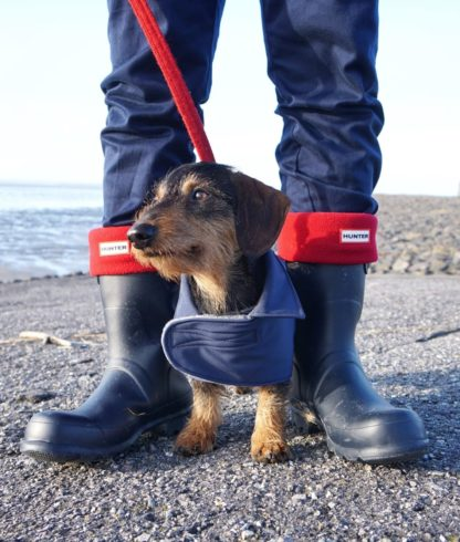 Dachshund Bruno in his blue trenchcoat