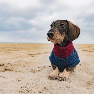 Ruwharige teckel Henry in een op maat gemaakte hondentrui in Navy Bordeaux