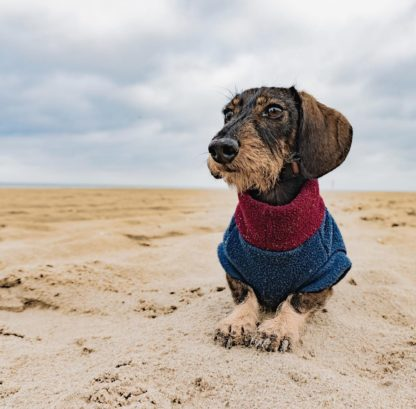 Dachshund Henry in his custom tailored jumper in navy and bordeaux