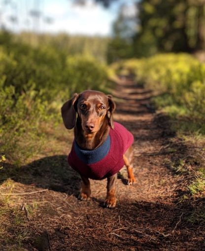 Dachshund Ida in her tailor-made fleece jumper in bordeaux and grey