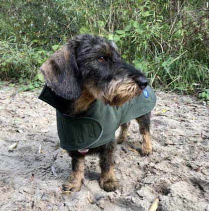 Dackel Iko im grünen Trenchcoat