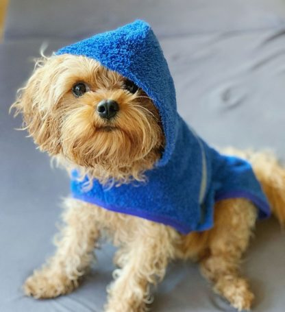 Cavapoo Monty in his blue drying poncho