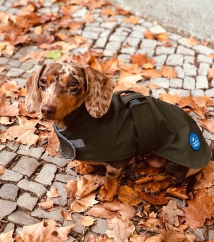 Dachshund Pina in her green trenchcoat