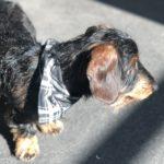 Hundehalstuch in schwarzen Karomuster
